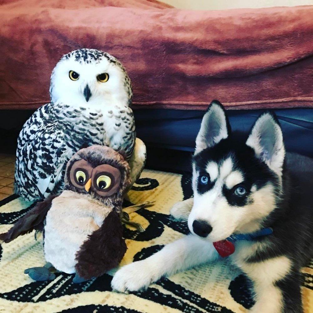 щенок хаски и сова