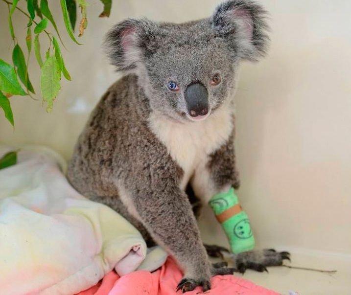 коалу _глаза