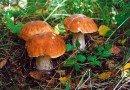 грибов
