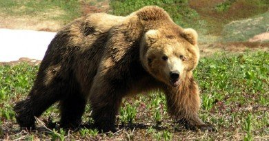 ведмедя