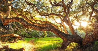 дерева-долгожителі