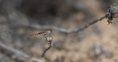 мухи-убийцы