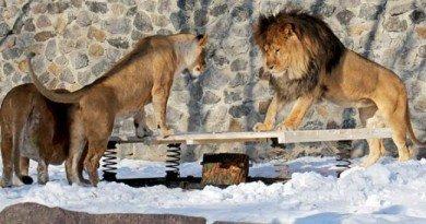 день рождения льва