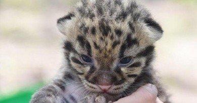 леопардик