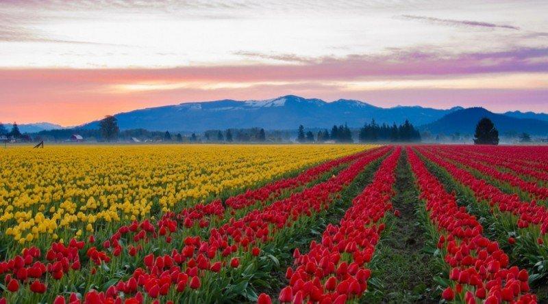 тюльпановое поле