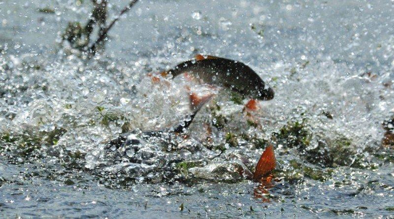 нерест риби