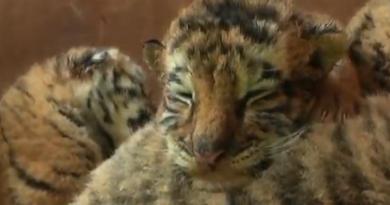 амурські тигренята
