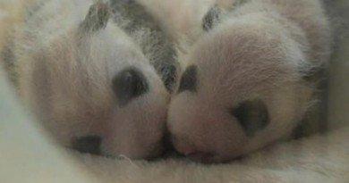 панды-близнецы