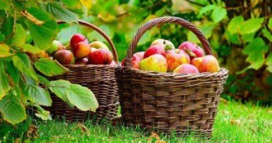 яблука