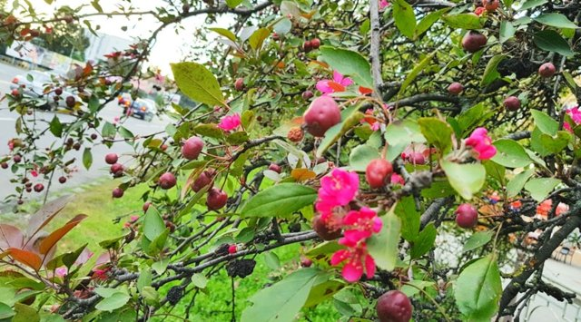 яблони1