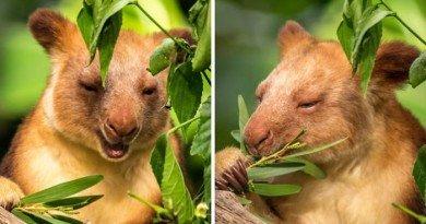 деревні кенгуру