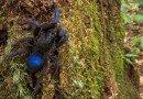 синий тарантул