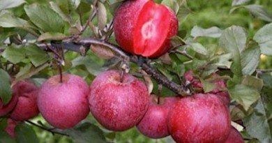 яблуко-вишня