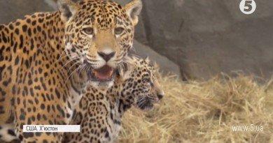 ягуари