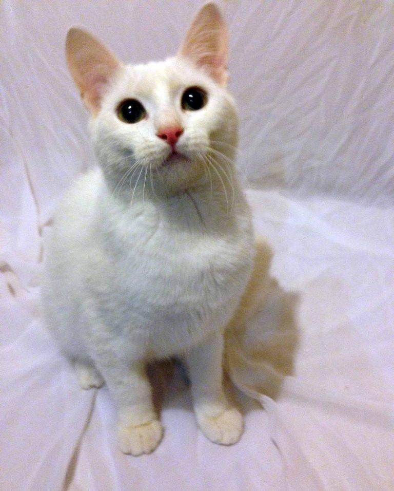кошка Белоснежка