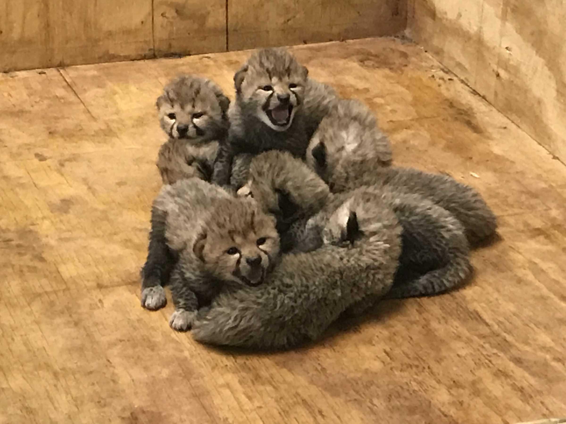 Bingwa_cheetah_and_cubs_pile_DEC_2017