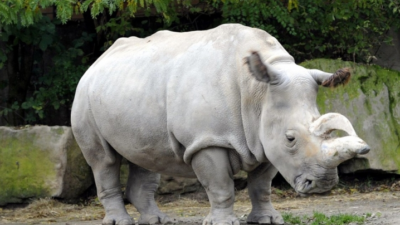 Умер последний в мире белый носорог