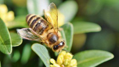 Зосима-пчельник