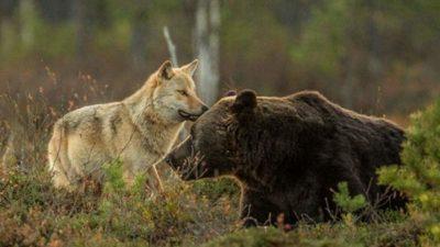 дружба_волк и медведь