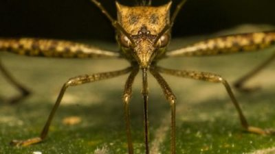 В Китае обнаружили самого огромного комара в мире