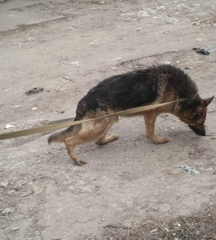 собака_Викинг