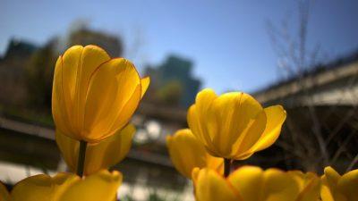 фестиваль тюльпанів