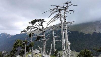 старое дерево_Италия