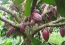 Какао_дерево