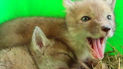 редкие лисицы