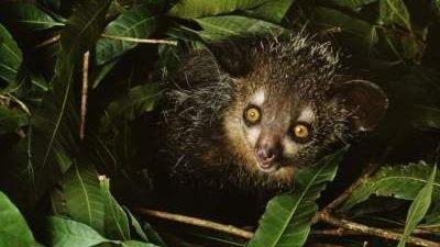 Мадагаскарська руконіжка