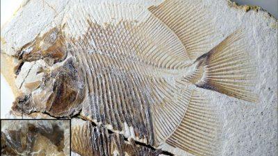 В Германии нашли доисторическую пиранью, ровесницу динозавров