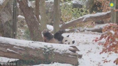 У зоопарку США показали, як панда радіє першому снігу (відео)