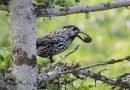 птица кедровка