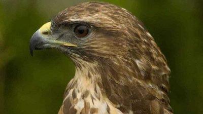 Перелом крыла и мышь в горле: в Днепре спасают хищную птицу (Фото)