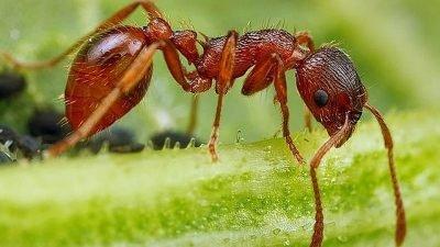 муравей-дракула