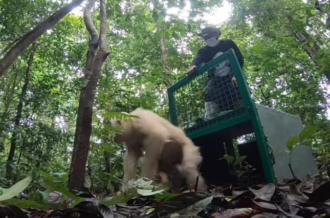 орангутан-альбинос