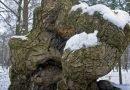 унікальне дерево_Тернопільщина