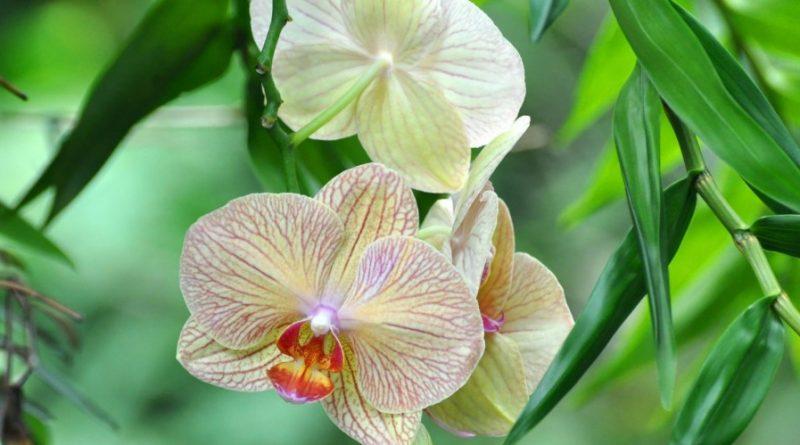 новий вид орхідей