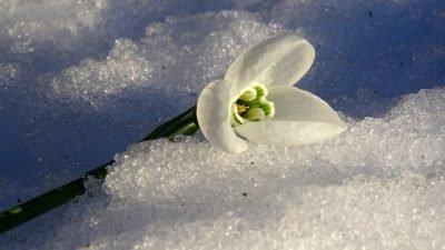 цветок за снегу