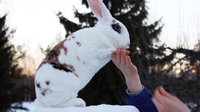 кролик из Финляндии