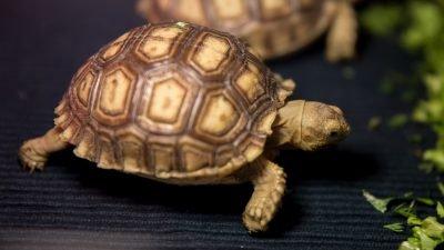 шпороносні черепахи