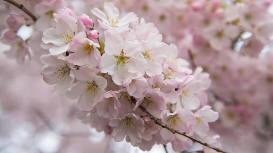Фестиваль цвітіння сакур