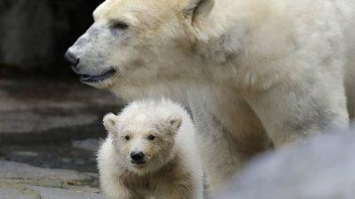 белый медвежонок_Берлинский зоопарк