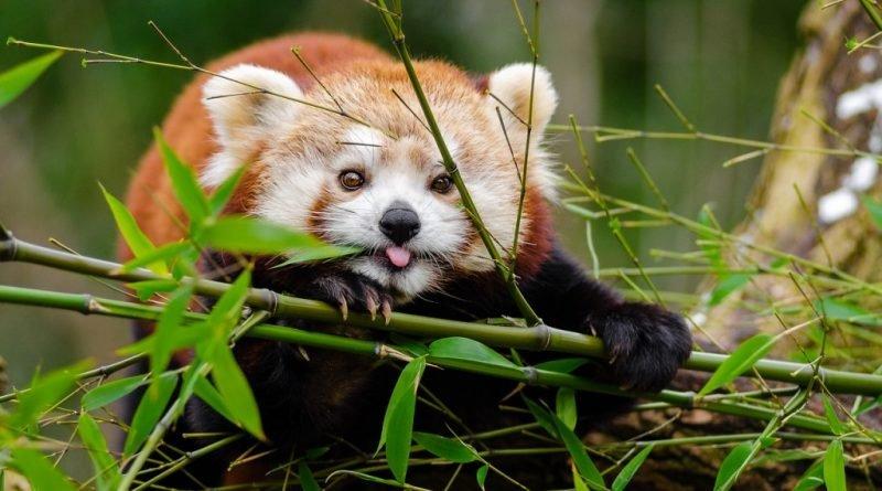 червона панда