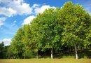 деревья_платаны
