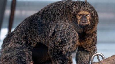 Очень мускулистый самец обезьяны