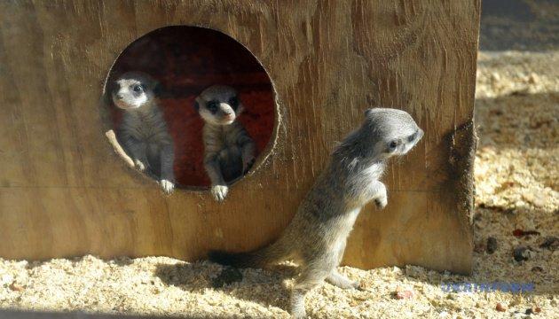 сурикати_Подільський зоопарк