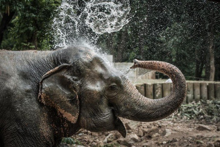 Слон Нингнонг