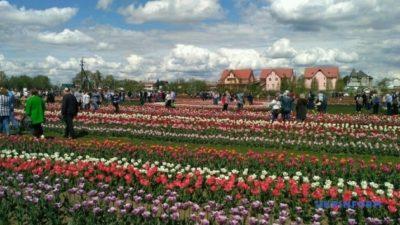 фестиваль тюльпанів_Буковина