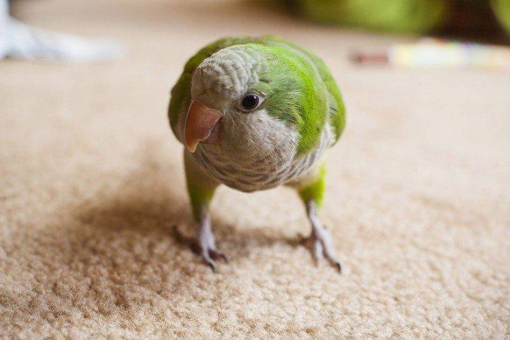 попугай Вилли